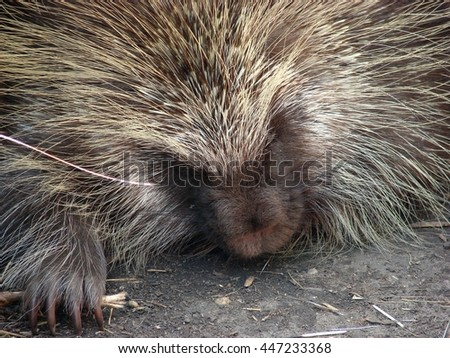 sleeping porcupine wild animal