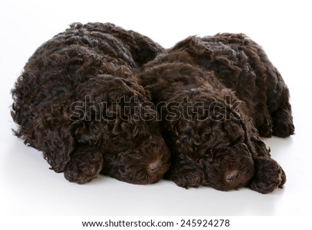 sleeping puppied - two barbet puppies sleeping on white background - stock photo