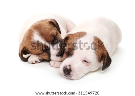 Sleeping puppies breed Jack Russell Terrier, 1 month old. Isolated on white. - stock photo