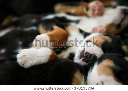 sleeping puppies Entlebucher - stock photo