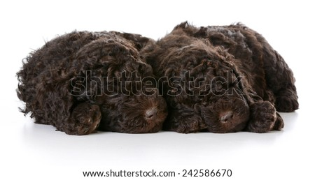 sleeping puppies - two barbet puppies sleeping on white background - stock photo