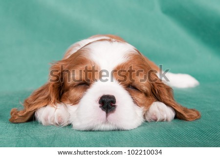 Sleeping puppy of a Cavalier King Charles spaniel - stock photo