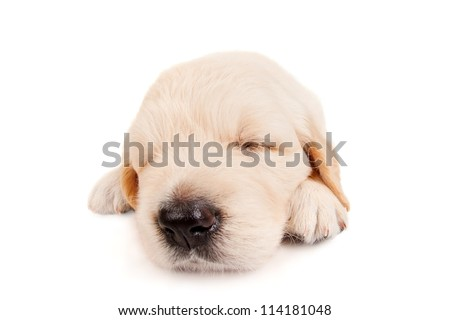 Sleeping puppy retriever, isolated on white