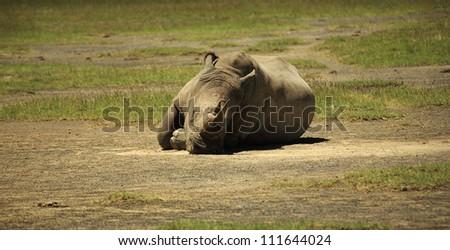 Sleeping Rhino at Lake Nakuru Rift Valley Kenya - stock photo