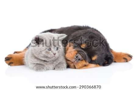 Sleeping rottweiler puppy hugging small kitten. Isolated on white background - stock photo