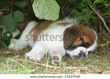 Sleeping Saint Bernard Puppy - stock photo