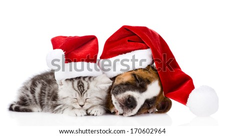 sleeping scottish kitten and puppy with santa hats. isolated on white background - stock photo