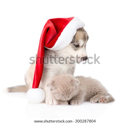 sleeping scottish kitten and Siberian Husky puppy with red santa hat. isolated on white background