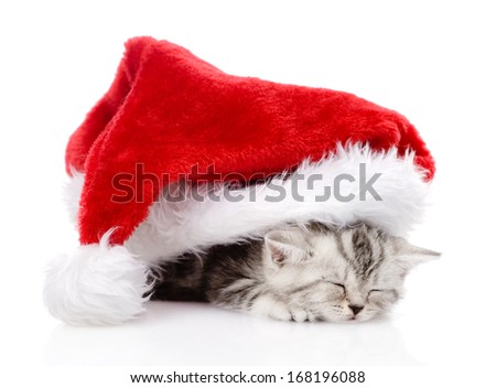 sleeping scottish kitten with santa hat. isolated on white background - stock photo