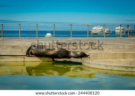 sleeping sea lion in esplanade in san cristobal  with ocean on background galapagos islands ecuador - stock photo