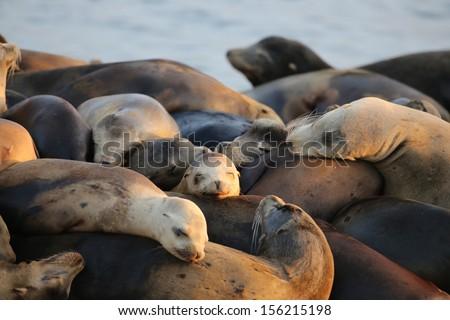 Sleeping Sea Lions - stock photo