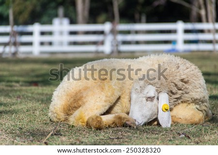 sleeping sheep in farm - stock photo