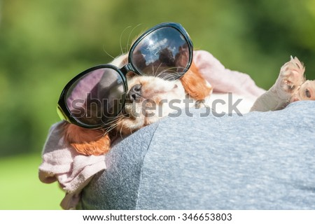 sleeping spaniel puppy wearing sunglasses