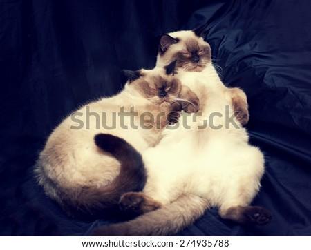 Sleeping two siamese cats, cats family - stock photo