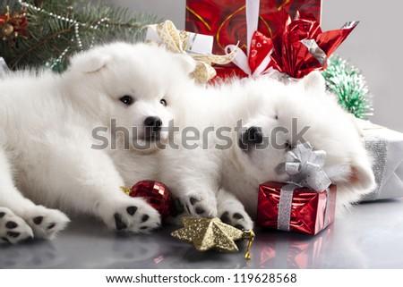 sleeping white spitz and gifts christmas - stock photo