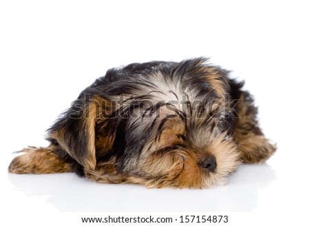 sleeping Yorkshire Terrier puppy. isolated on white background