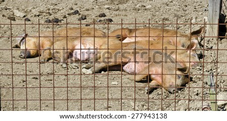 sleeping young Mangalica pigs