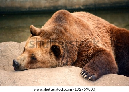 Sleepy bear in zoo