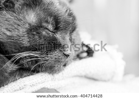 Sleepy, beautiful, black tomcat. High resolution and quality