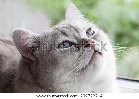 Sleepy blue eyes - a beautiful British Shorthair in Snooze  - stock photo