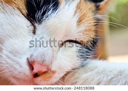sleepy british kitten over black background - Stock Image