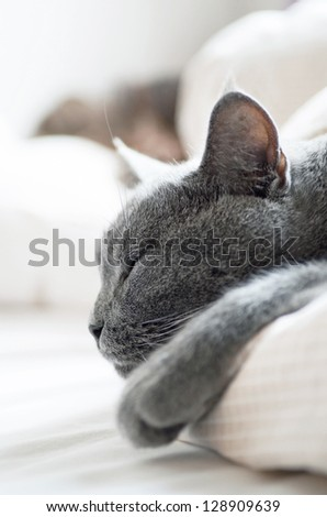 Sleepy British shorthair cat