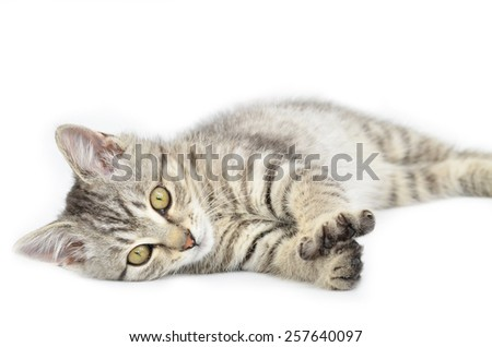 Sleepy cat lying down isolated on white background