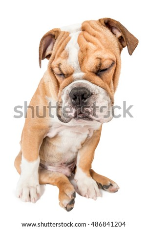 Sleepy English bulldog pup isolated on white background,selective focus