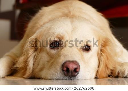 Sleepy Face Golden Retriever Dog - stock photo
