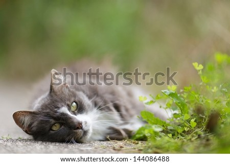 Sleepy grey and white cat enjoying the sunshine lying stretched out on its side on a pathway in the warmth looking at the camera - stock photo