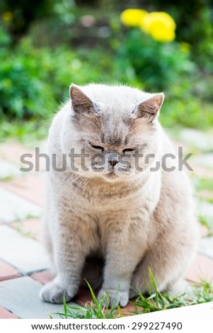 Sleepy Grey Cat Scottish Breed sitting outside House - stock photo