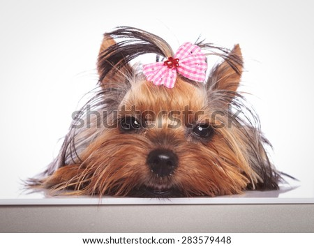 sleepy little yorkshire terrier puppy dog is lying down on studio background - stock photo