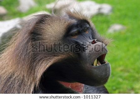Sleepy looking Gelada Baboon. - stock photo