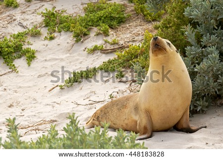 Sleepy moment for Australian Sea Lion resting on warm sand at Seal Bay, Sea lion colony on south coast of Kangaroo Island, South Australia - stock photo