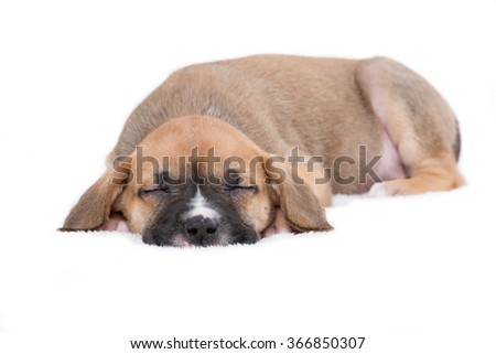 Sleepy Puppy Dog on White Background