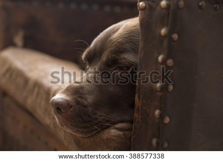 sleepy senior dog - stock photo