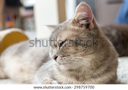 Sleepy tabby cat close up in studio - stock photo