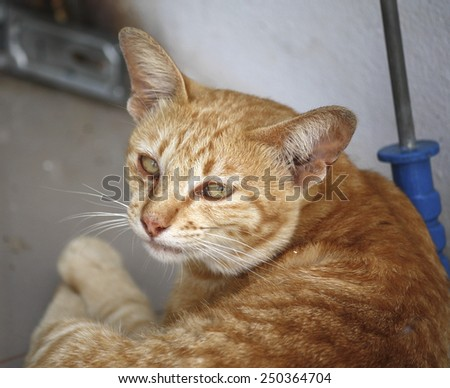 Sleepy thai cat  - stock photo