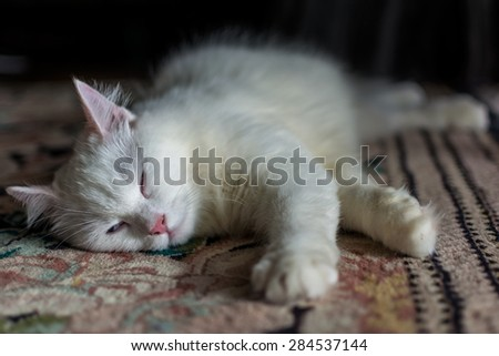 Sleepy turkish angora cat
