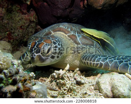 Sleepy young green turtle (Chelonia mydas) and remora