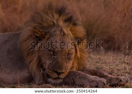 Sleepy young male lion - stock photo