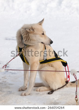 Sleigh dog sitting in snow alone with harness - stock photo