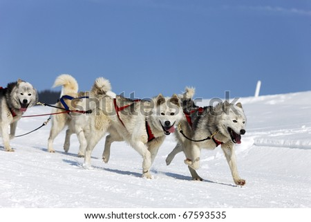 sleigh dogs