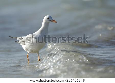Slender-billed Gull - stock photo