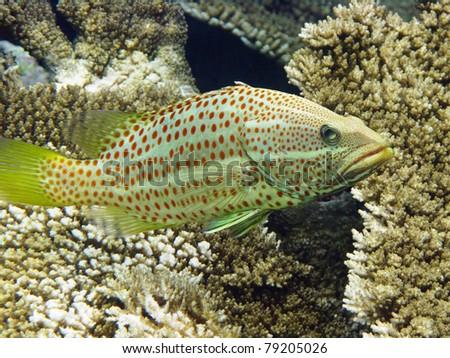 Slender grouper in Maldives - stock photo