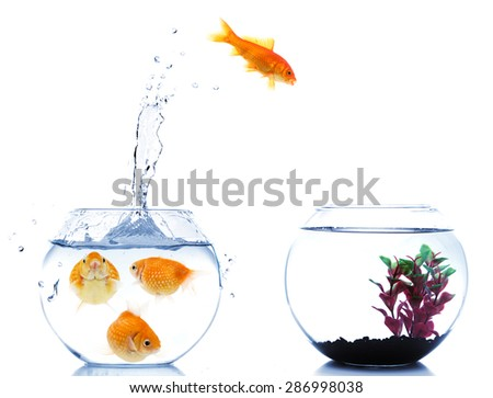 slim goldfish escaping from fishtank full of fat fishes - stock photo