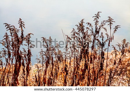 Slim morning blades of river straw grass in nature