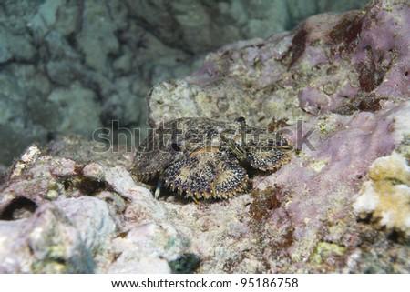 Slipper Lobster - stock photo