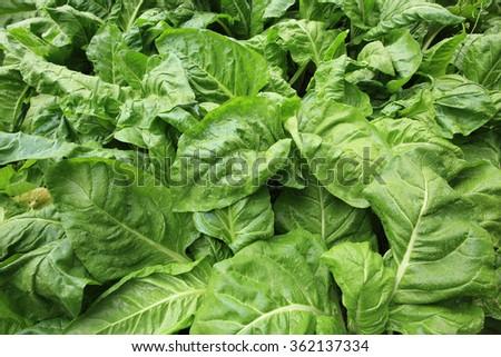 sliverbeet grow in vegetable garden - stock photo