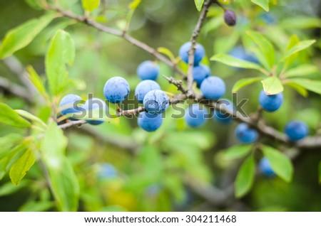 Sloe berries, growing on a bush, shallow DOF - stock photo